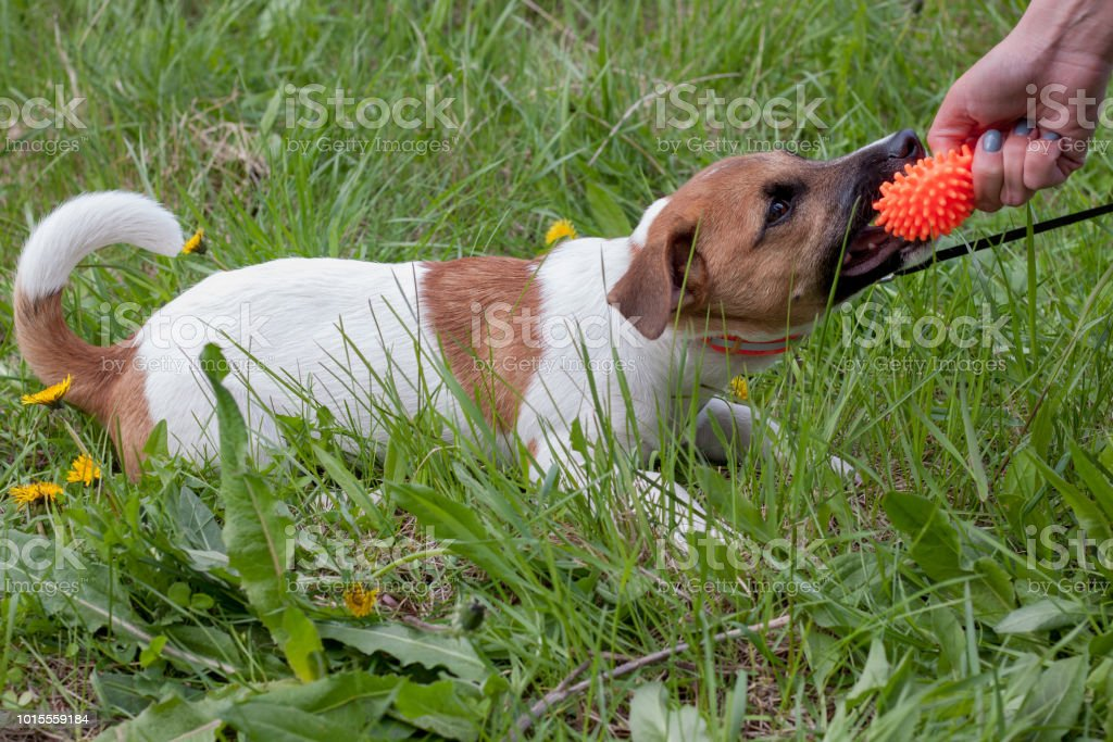 Cute Jack Russell Terrier Puppy Is Playing With His Owner