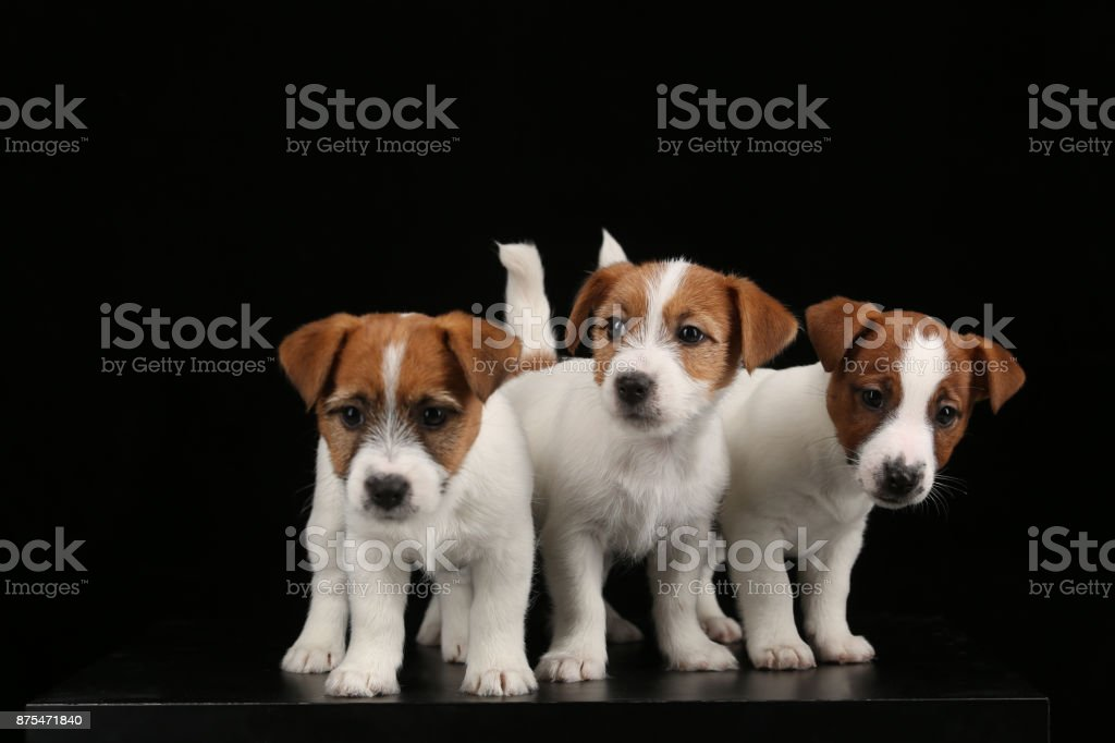 Cute jack russell terriers babies. Close up. Black background stock photo