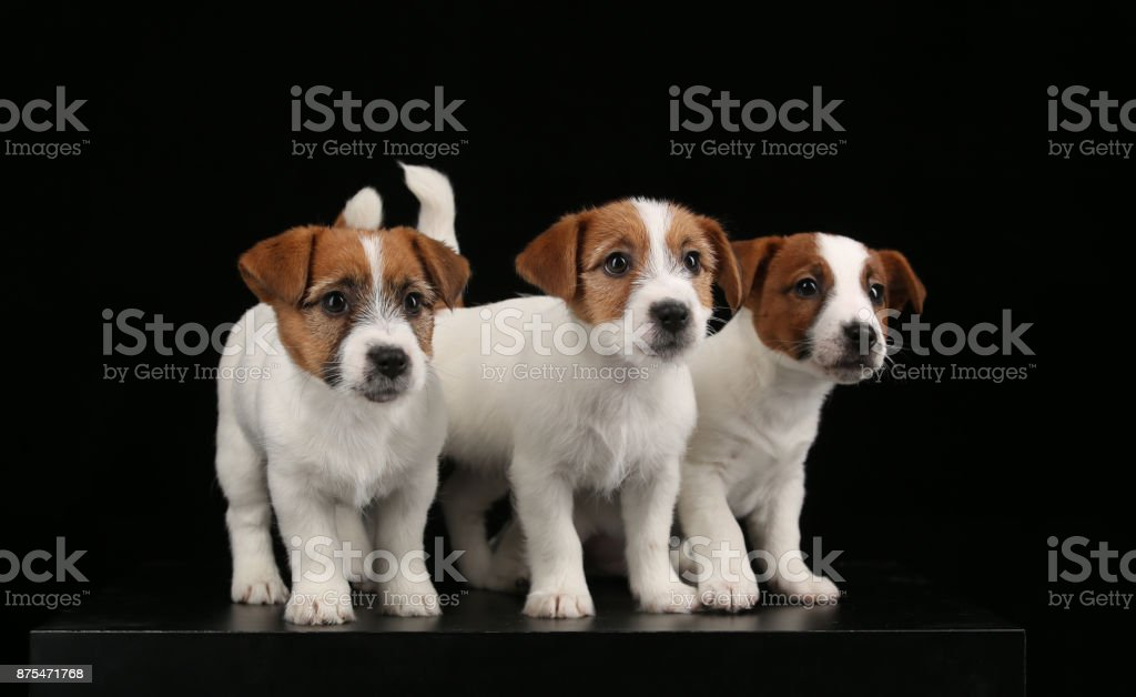 Cute jack russells babies. Close up. Black background stock photo