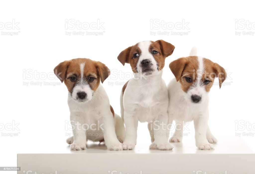 Cute jack russells. Close up. White background stock photo