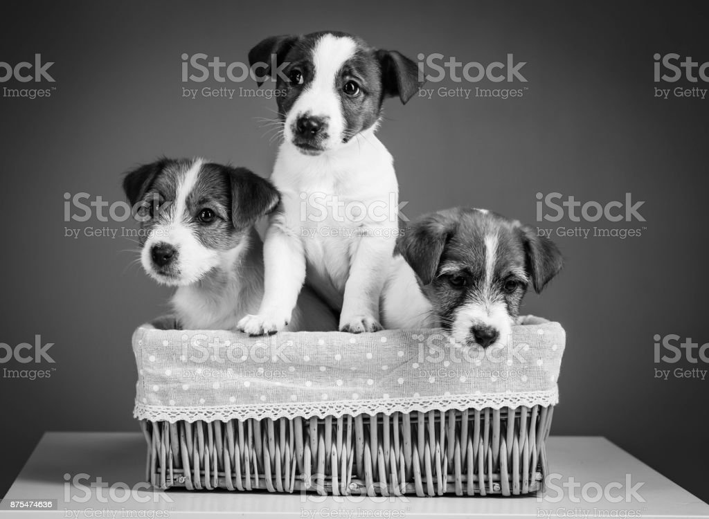Cute jack russells in the bed. Close up. Black and white background stock photo