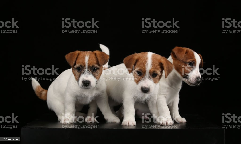 Cute jack russells puppies. Close up. Black background stock photo