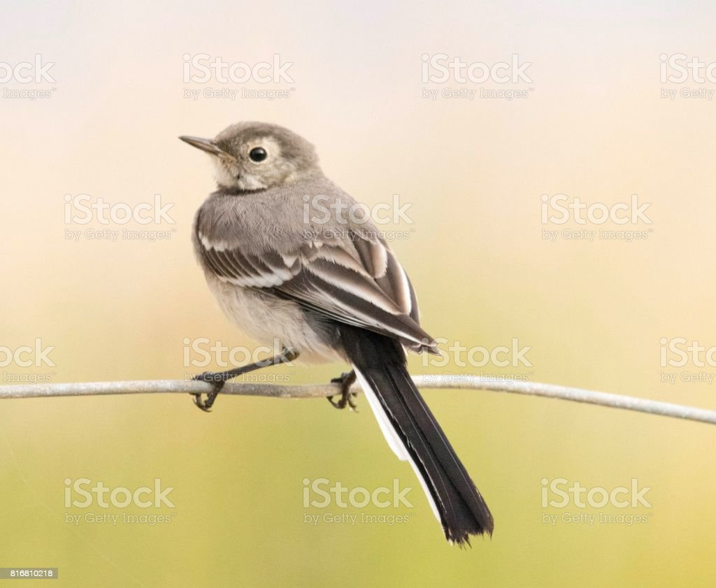 Cute Juvenile Pied Wagtail Bird Perched On Wire Fence Stock