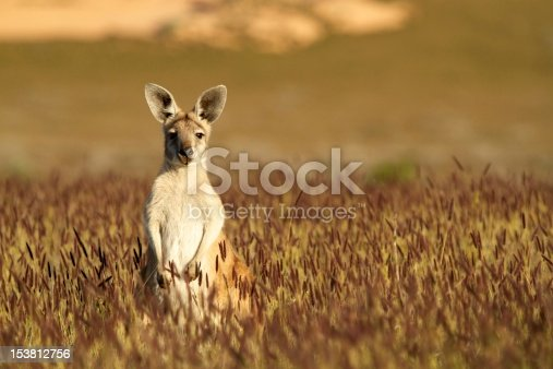 Short depth of field photo of kangaroo in the Australian outback