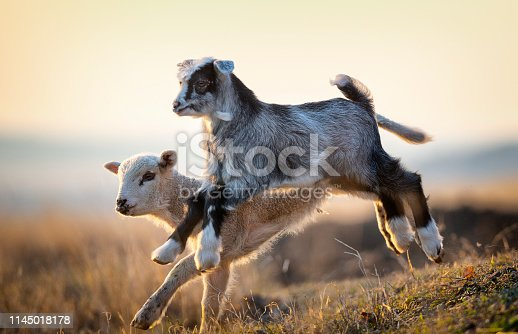 cute kid and lamb running at farm in spring