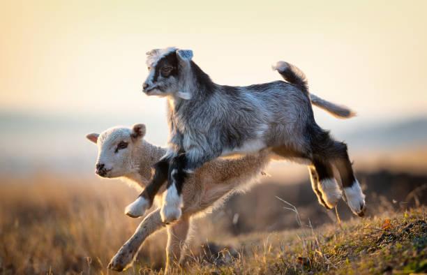 schattige jongen en lam lopen op de boerderij in het voorjaar - schaap stockfoto's en -beelden