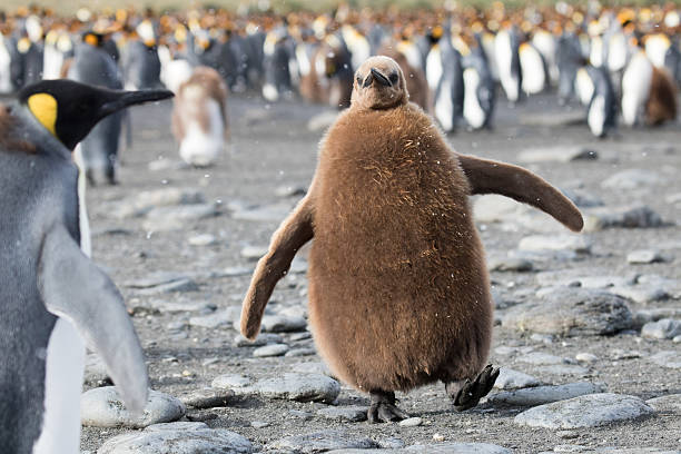 Cute king penguin chick stock photo