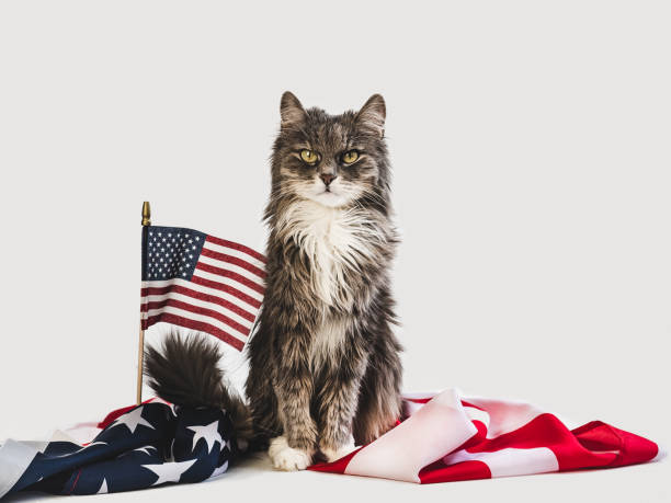 Cute kitten and american flag studio photo shoot picture id1150804773?b=1&k=6&m=1150804773&s=612x612&w=0&h=natlsc8 mp uu9ricdzudddgel3x9cscwjg0mgjarke=
