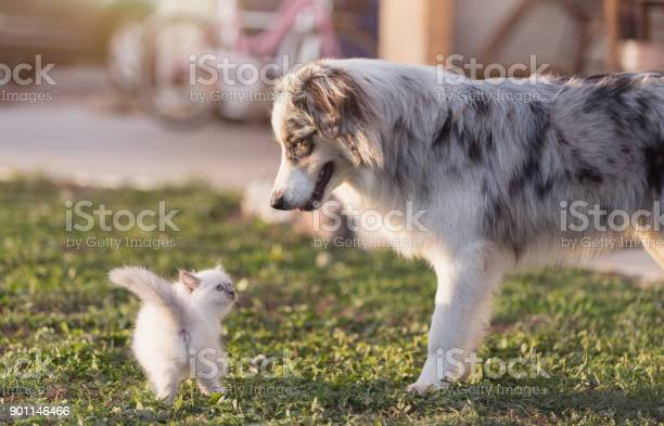 Cute kitten and dog picture id901146466?b=1&k=6&m=901146466&s=612x612&h=uebvha6l8wbbkdmmnbhcah9y01s3p7rlreahnzpzvje=