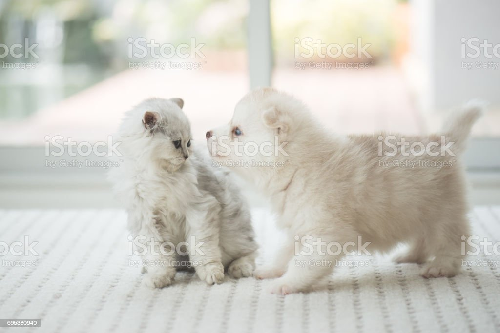 Cute kitten and puppy playing together