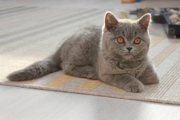 Cute kitten british cat lying on a rug picture id639124768?b=1&k=6&m=639124768&s=612x612&w=0&h=sf6gt4lq5mttennjlndmwx m58aa243cn7sltrohpqy=