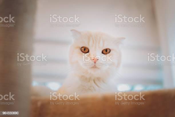 Cute kitten cat scottish fold playing looking camera on modern floor picture id964330690?b=1&k=6&m=964330690&s=612x612&h=zsoj rdrzxba5fhtwbrhsbup56v7z7kgv5jd53rwhi8=