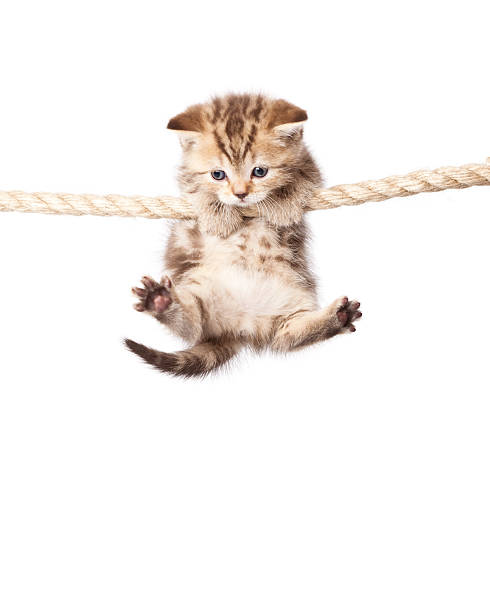 Cute kitten hanging on to rope isolated on white picture id152959821?b=1&k=6&m=152959821&s=612x612&w=0&h=uxey7t9cizvn866o2ouohwthwubsw2fm28g64rrsyzo=