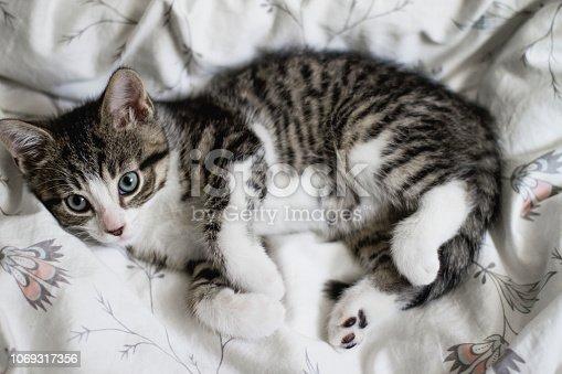 tabby cat, domestic cat, bed, kitten, small