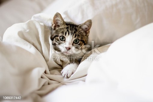 tabby cat, domestic cat, bed, kitten, small
