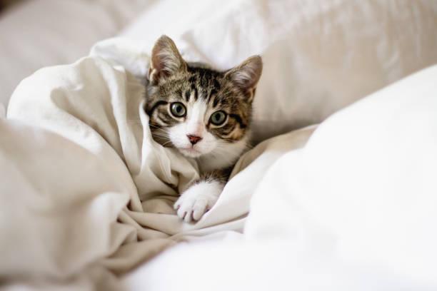 ベッドでかわいい子猫 - 飼い猫 ストックフォトと画像