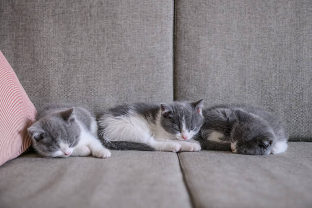 Cute kitten indoor shooting picture id900529138?b=1&k=6&m=900529138&s=612x612&w=0&h=p1qf6gimspardjx6zusxwt7rjxkhlruzgcsb tcj8bm=