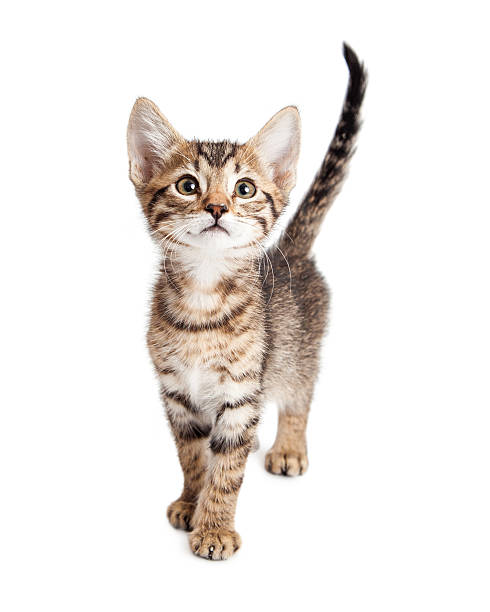 Cute kitten isolated on white picture id537317482?b=1&k=6&m=537317482&s=612x612&w=0&h=j3q97gpsszqkmpz7zem63ogx3nuo7mvdnf9fpfm2coq=