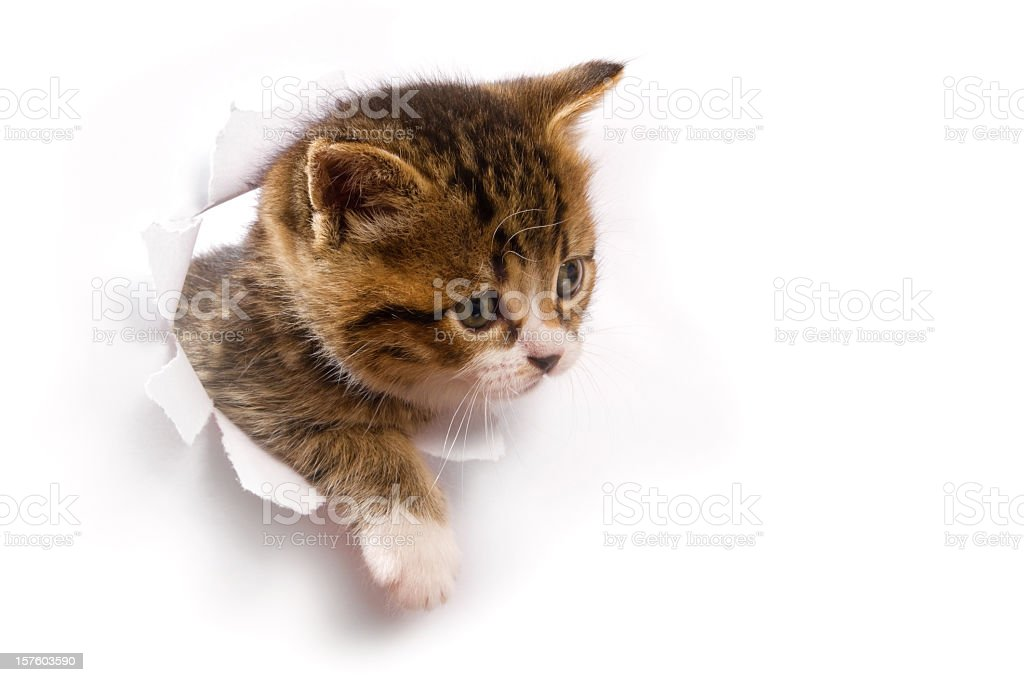 A cute kitten looking out from a hole stock photo