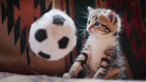 Cute kitten looks surprised at the toy in the form of a soccer ball picture id1223413016?b=1&k=6&m=1223413016&s=612x612&w=0&h=e2npcrzrpskb7v1s10c8teew5e4ts3t91bpq3wnqux4=
