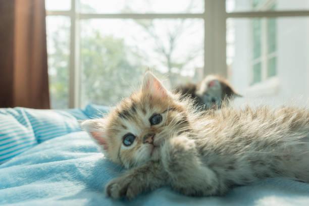 Cute kitten on bed picture id908469404?b=1&k=6&m=908469404&s=612x612&w=0&h=eqvsdofwlct6ibkpfm1ksbzgrkhoy3 objvdqv cwr0=