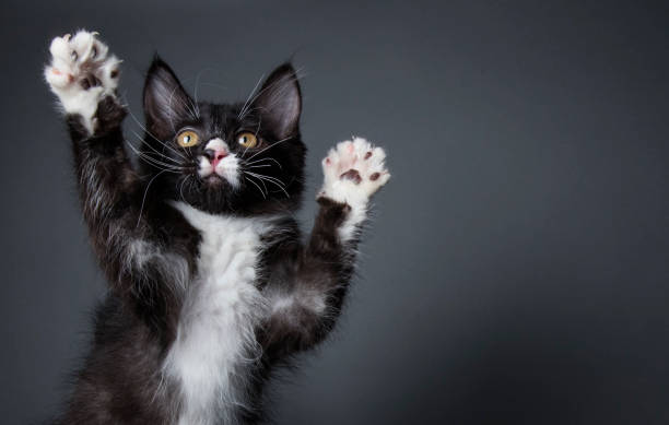 Cute kitten playing the amanda collection picture id820785498?b=1&k=6&m=820785498&s=612x612&w=0&h=zdaraohboocejpachmze5uyegbipp7r5lqdowcwiz2o=