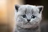 かわいい子猫の肖像。ブリティッシュショートヘアの猫