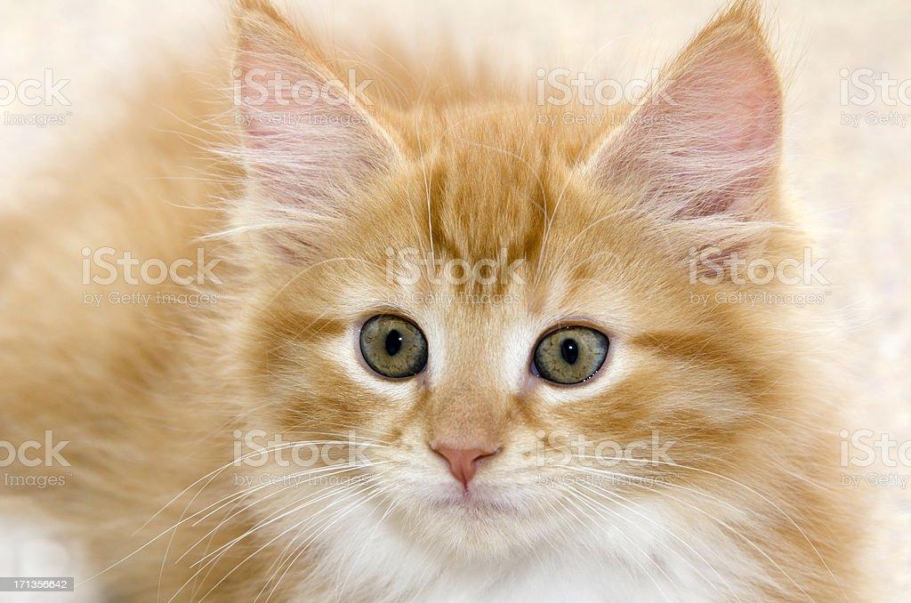 Cute Kitten Portrait royalty-free stock photo