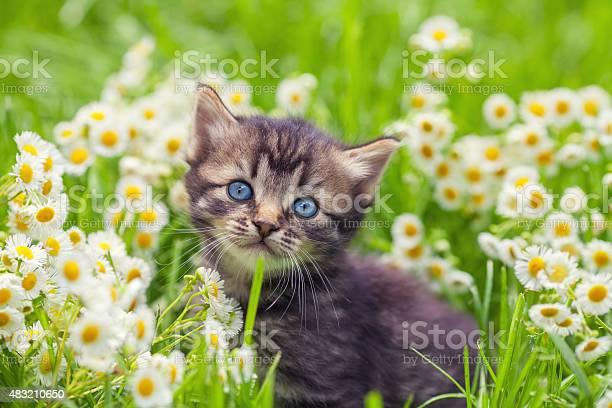 Cute kitten relaxing in flowers picture id483210650?b=1&k=6&m=483210650&s=612x612&h=pjjged7jesiwe1z ncwc9 cx23k7b04netgfr974gok=