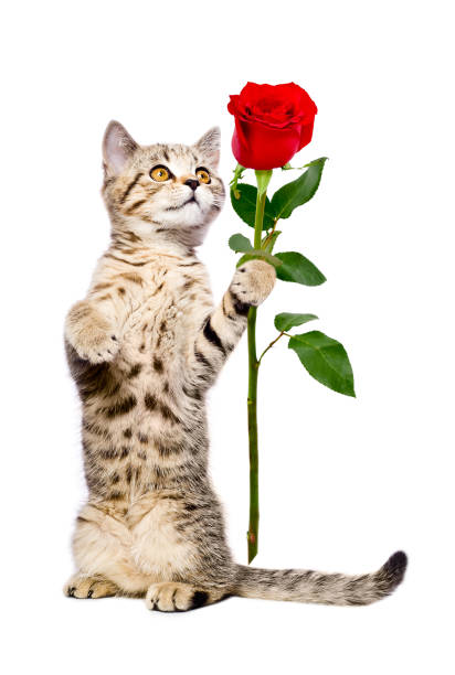 Cute kitten Scottish Straight with a rose, standing on its hind legs Cute kitten Scottish Straight with a rose, standing on its hind legs.Isolated on white background kitten cute valentines day domestic cat stock pictures, royalty-free photos & images