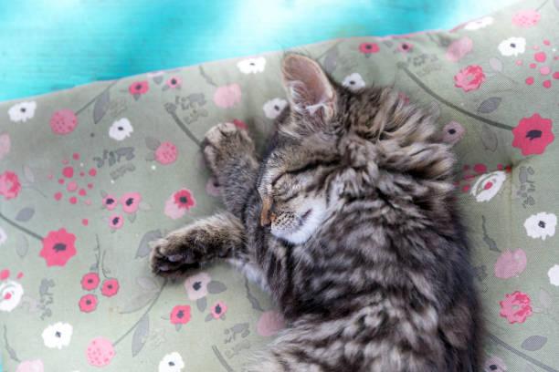 Cute kitten sleeping picture id1015357450?b=1&k=6&m=1015357450&s=612x612&w=0&h=wka8xjcf4z7bliqx69np6anqemaryvbcj7pte5hmkbs=