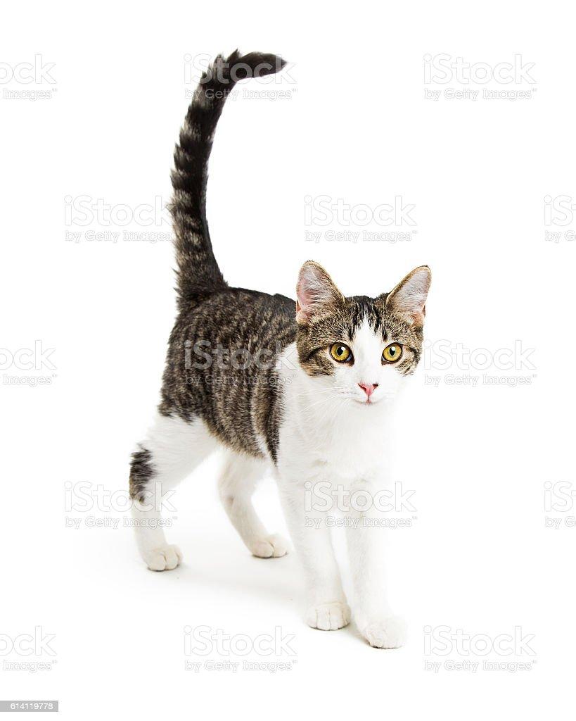 Cute Kitten Walking Forward on White stock photo