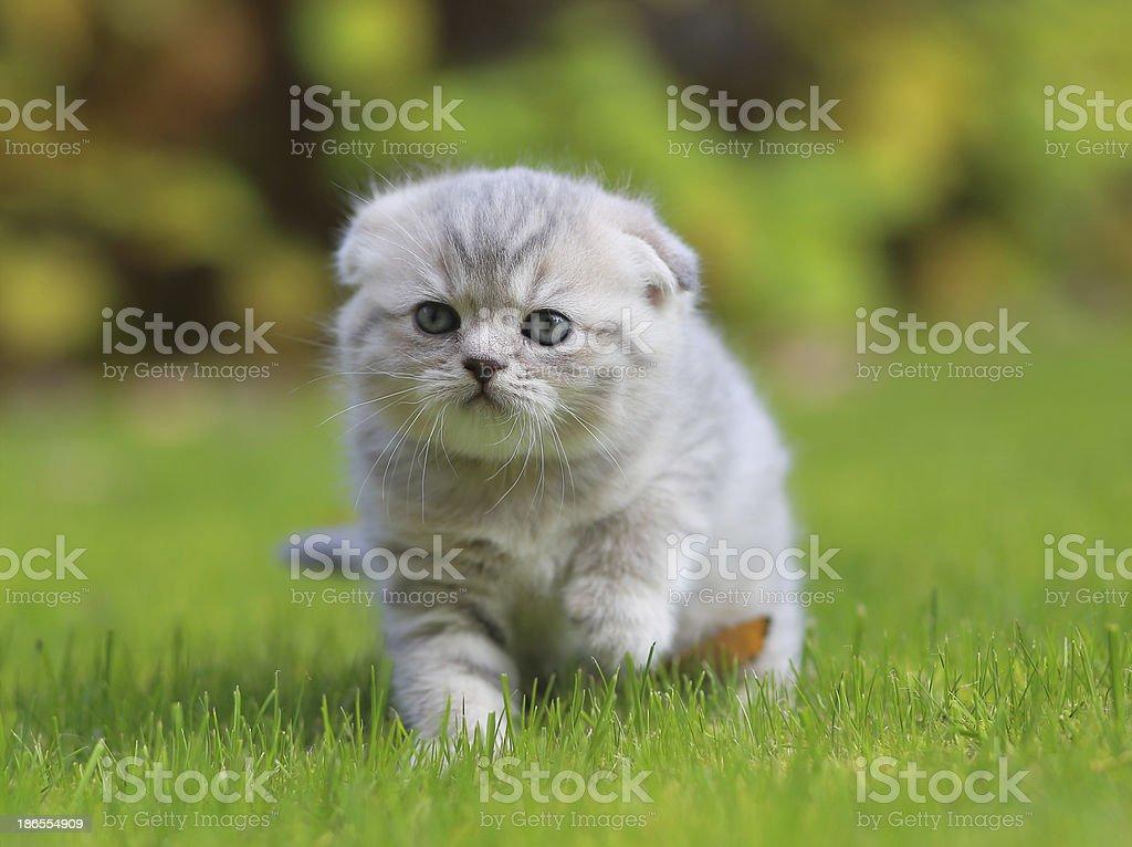 Cute kitten walking on green grass stock photo