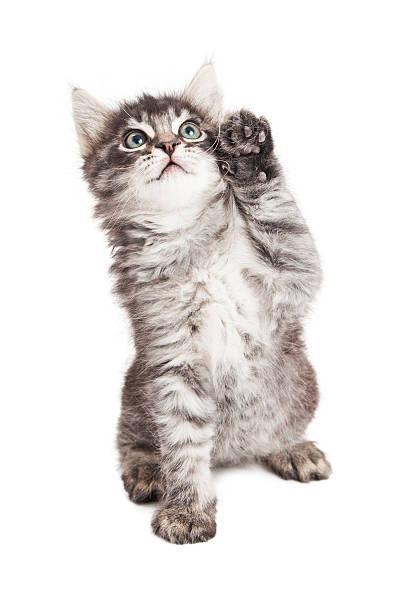 Cute kitten with high five paw picture id531964566?b=1&k=6&m=531964566&s=612x612&w=0&h=jpwxr5gezlcbgyzxaei vyslxbzuhmodkeb7defbq9o=