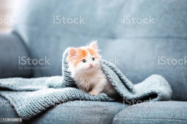Cute kitten with scarf sitting on gray sofa picture id1129105973?b=1&k=6&m=1129105973&s=612x612&h=rv493blhklzlbrdqiafkgsvbsn7os4x9njuol6munrg=