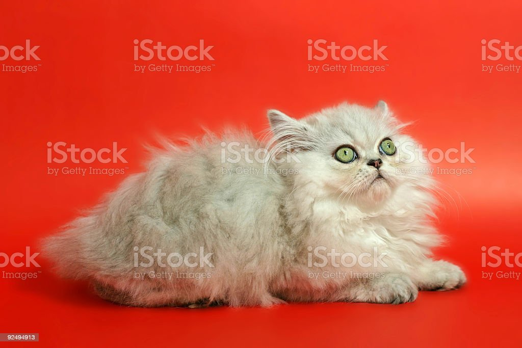 Cute kitten - worried royalty-free stock photo