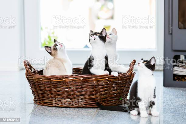 Cute kittens looking up with curiosity picture id831808434?b=1&k=6&m=831808434&s=612x612&h=7q8amarcnshzaizhfi0xzxheuiqznqo7rb7e6a9lw q=