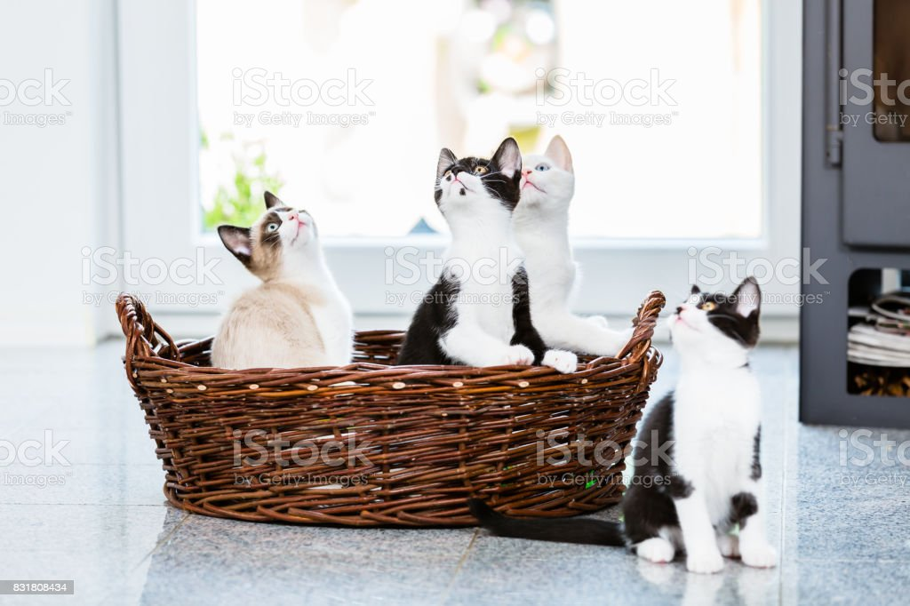 Cute kittens looking up with curiosity stock photo
