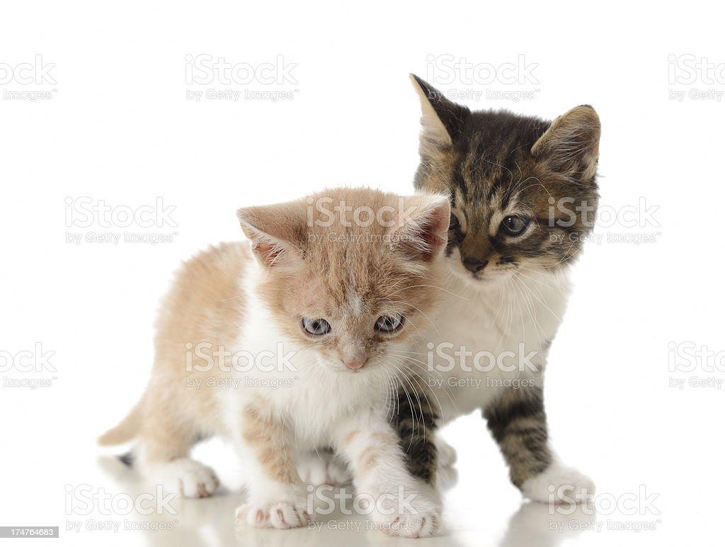 Cute kittens royalty-free stock photo