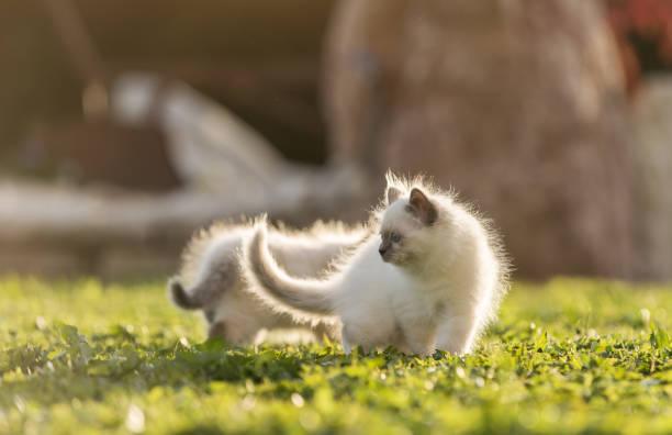 Cute kittens playing on the grass picture id901145996?b=1&k=6&m=901145996&s=612x612&w=0&h=ludrhzrzoehd2iqnydrgfeq175 kfdm vxut7y5cwpu=