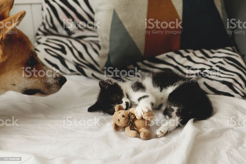 cute kitty and golden dog playing on bed with pillows in stylish...