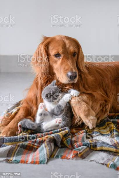 Cute kitty and golden retriever picture id1022667264?b=1&k=6&m=1022667264&s=612x612&h=wt35q6 jt0 n3ghl64hl45pp1ekbhmdrk1q8ndtbv0c=