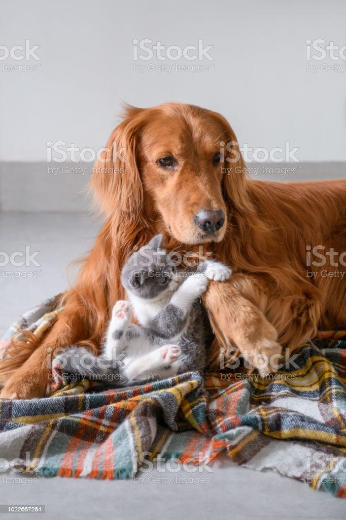 Cute kitty and Golden retriever stock photo