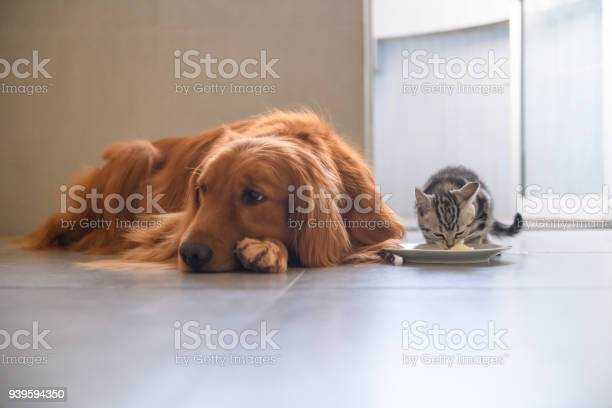 Cute kitty and golden retriever picture id939594350?b=1&k=6&m=939594350&s=612x612&h=hy0ecajxuzjqegoggtw6qtvlodffv8a1thipzzvglno=
