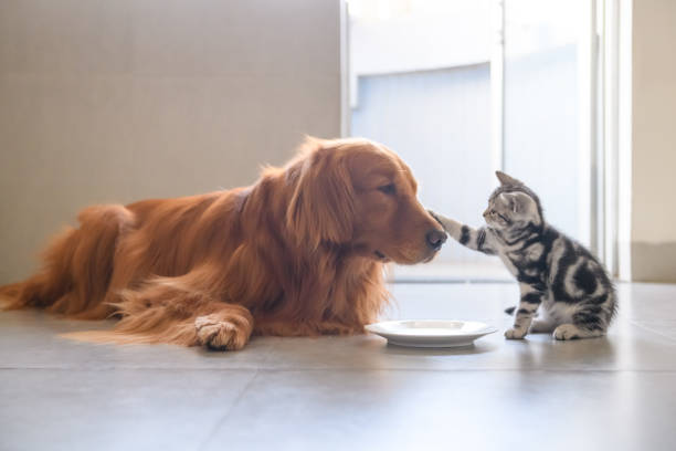 Cute kitty and golden retriever picture id939594374?b=1&k=6&m=939594374&s=612x612&w=0&h=vkypzesmx6ubqg3j6owqdmepia2f96mkkcuyh2psqsm=
