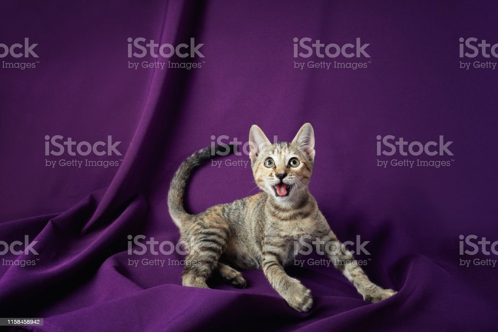 Cute kitty cat playing. Adorable and happy pet on violet background