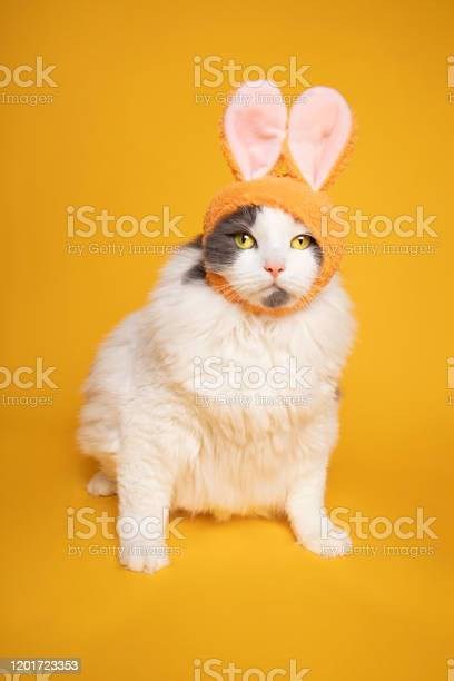 Cute kitty dressed as bunny rabbit picture id1201723353?b=1&k=6&m=1201723353&s=612x612&h=k  qvsj261dr3ooslv8bhssdw4cyqplksv3g1zmbqpc=