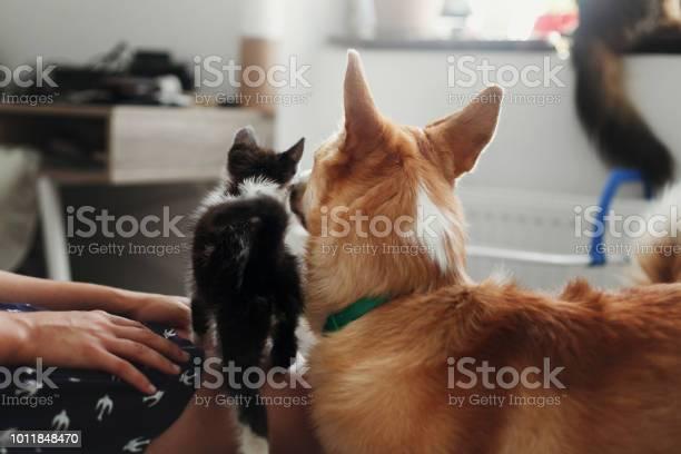 Cute kitty meeting with big golden dog in stylish room woman holding picture id1011848470?b=1&k=6&m=1011848470&s=612x612&h=uforqgvwnn3ke84c36kz9sxnd2gu9qcopb j 2nhnja=