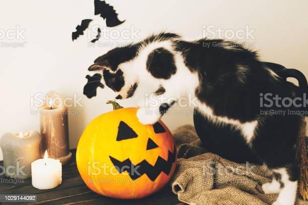 Cute kitty playing at witch cauldron with jack o lantern pumpkin with picture id1029144092?b=1&k=6&m=1029144092&s=612x612&h=31hle fbq4pqrrgd8a kzjokaa3o 5qflrgvntozfsq=