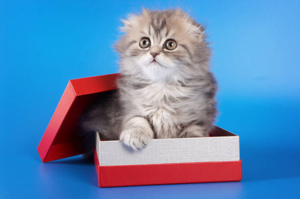 Cute kitty scottish fold cat sitting in a box on a blue background picture id857925104?b=1&k=6&m=857925104&s=612x612&w=0&h=fwrs8mkqkipnhwbxj9pf8zj8fwd084exgjlzjcm5r9w=
